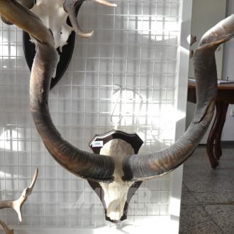 gr. Kudugeweih-Hörner